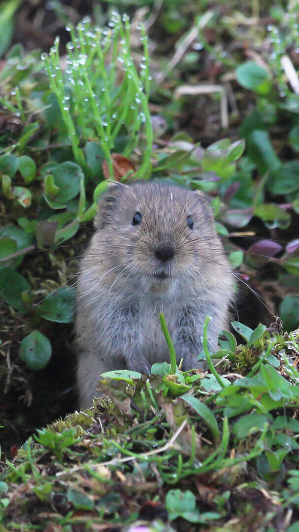 The famous singing vole of St. Matthew Island