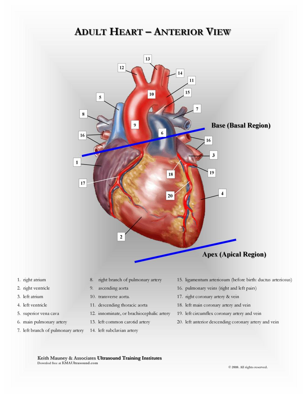 KMA Ultrasound Adult Heart - Anterior View