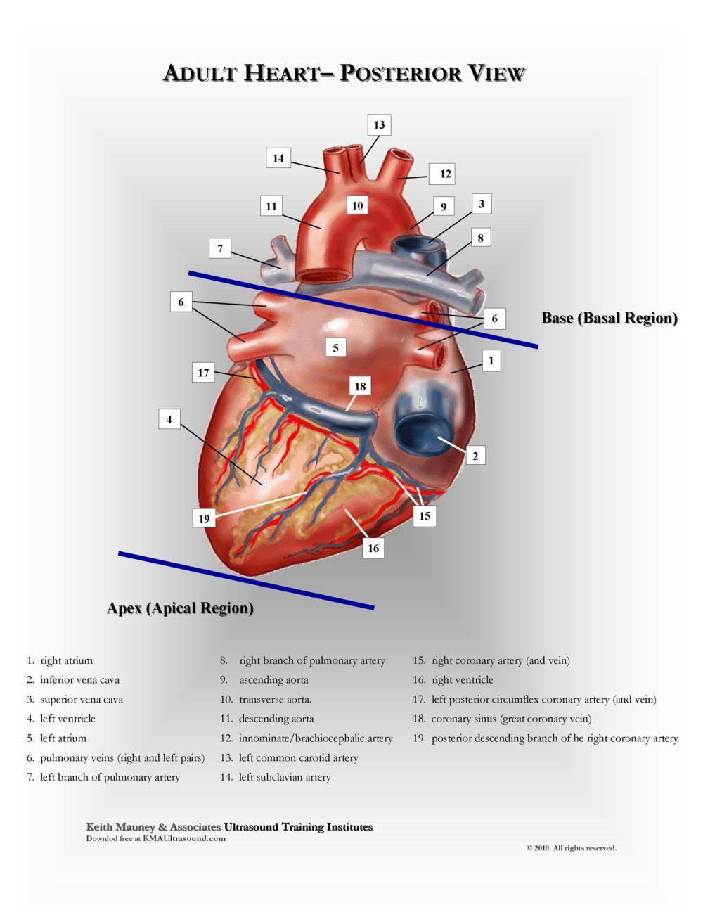 KMA Ultrasound Adult Heart - Posterior View