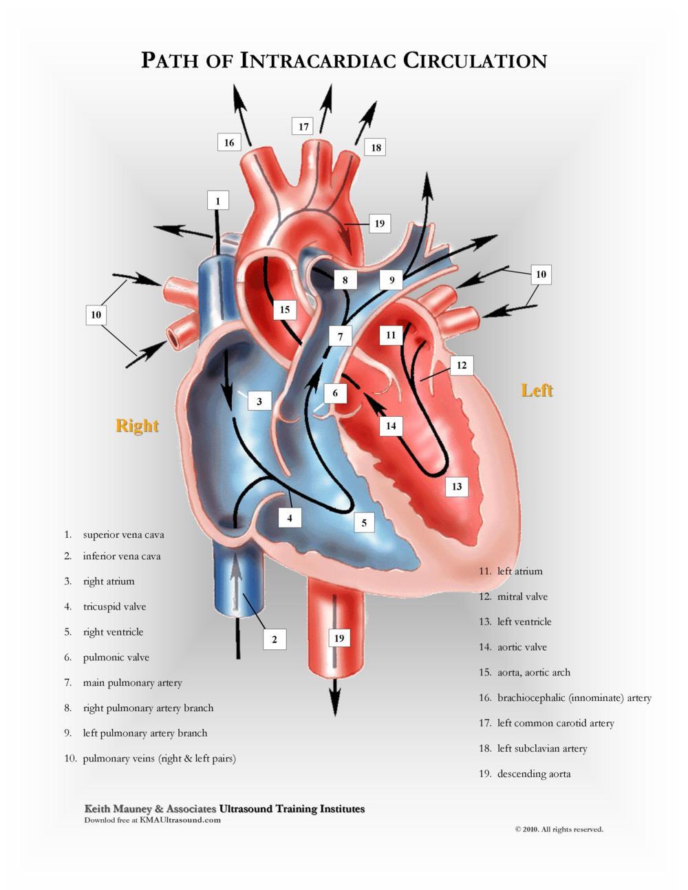 KMA Ultrasound Path of Intracardiac Circulation