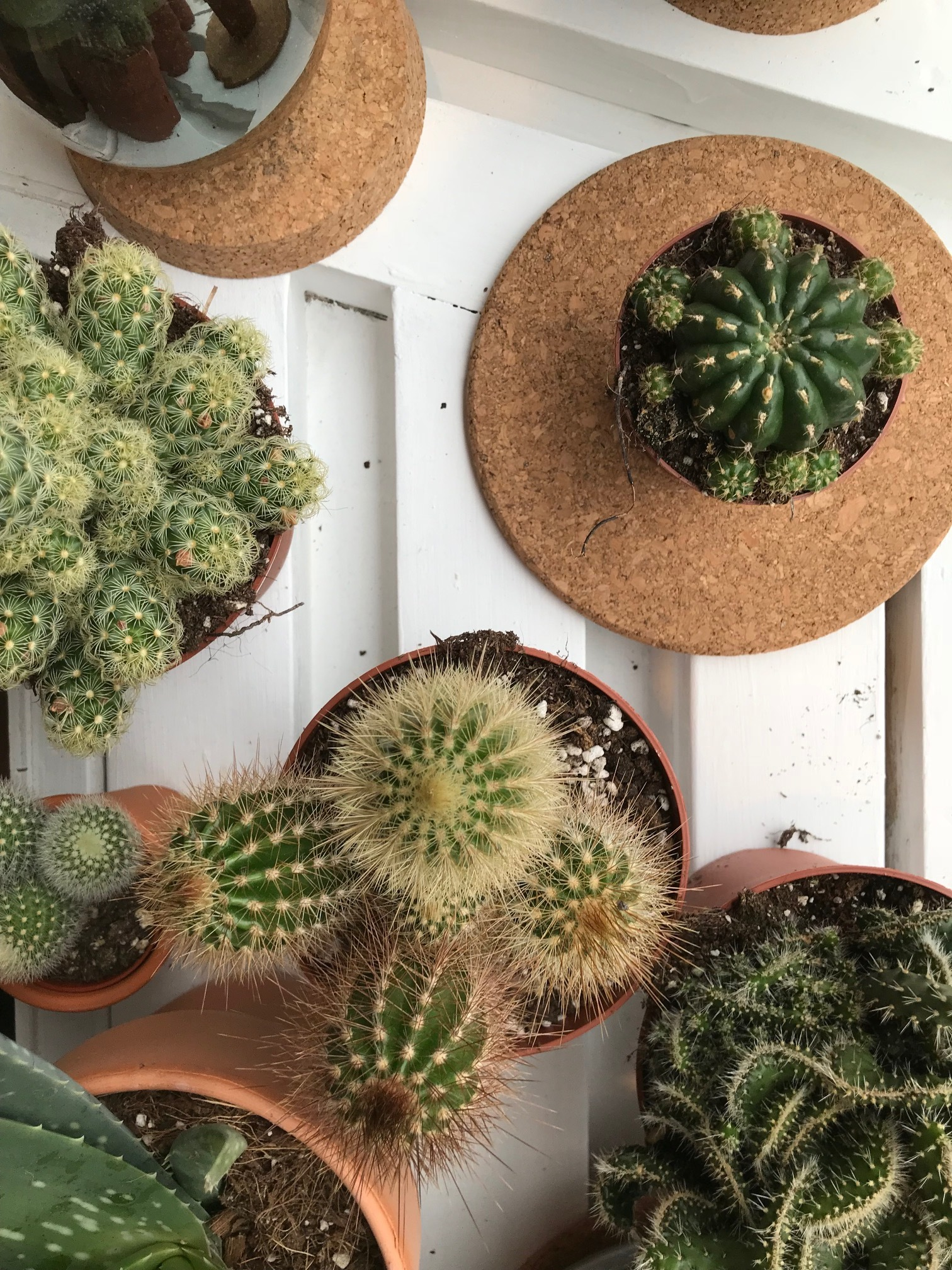 selection of cacti