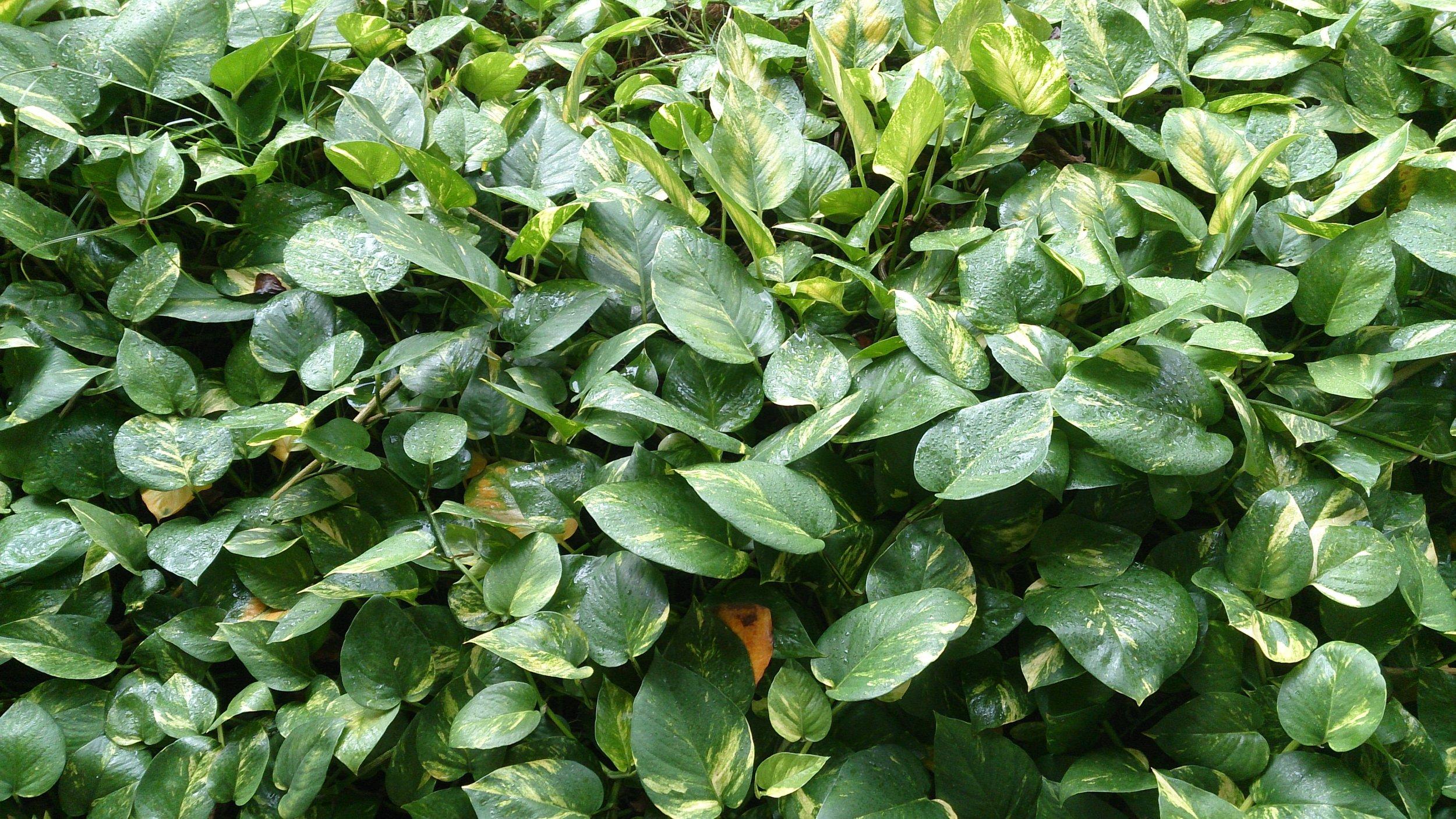Devils Ivy Office Plants