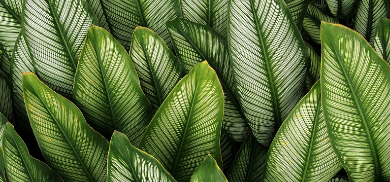 Calathea Make Great Office Plants