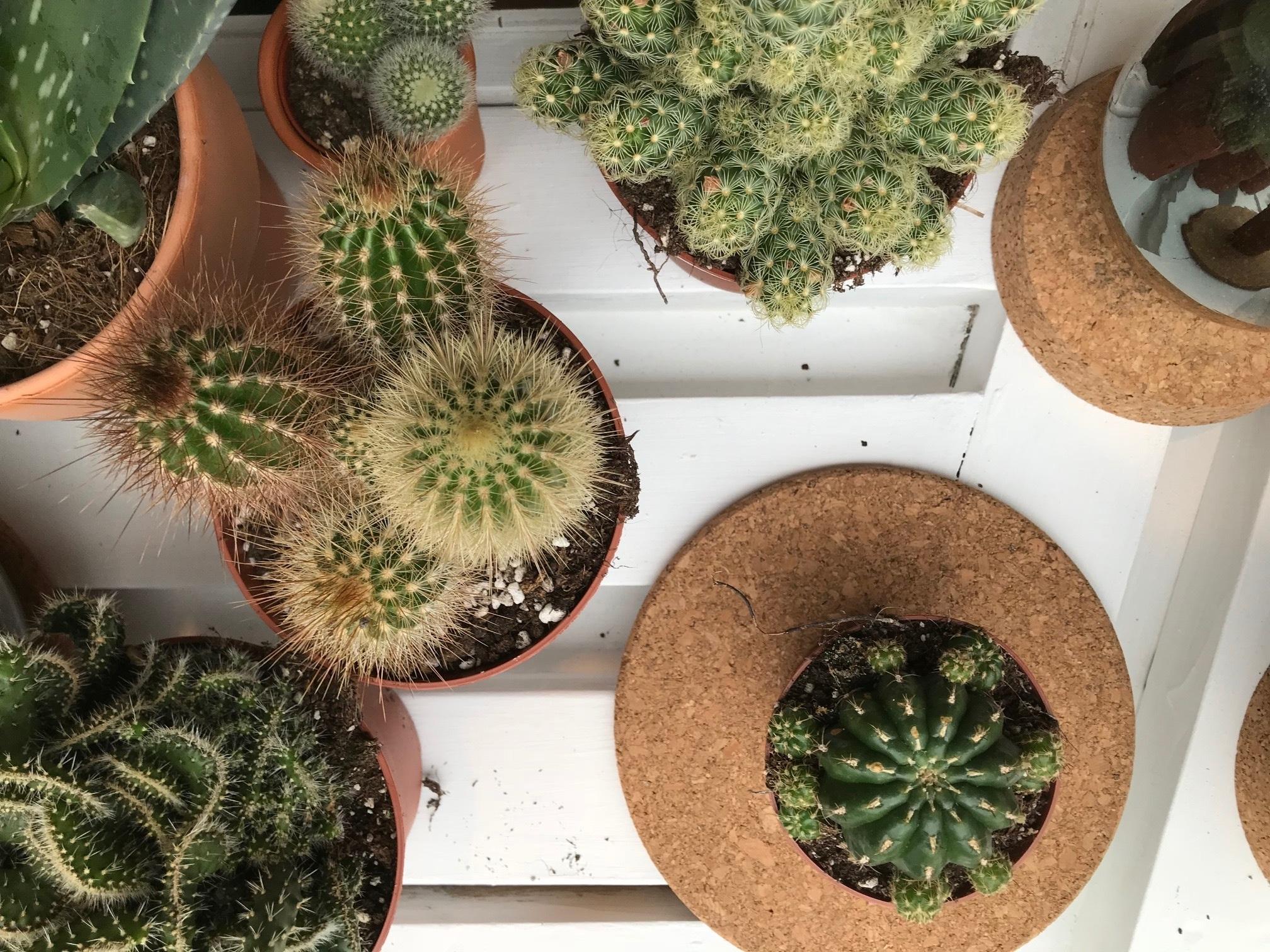 Cactus for sale london