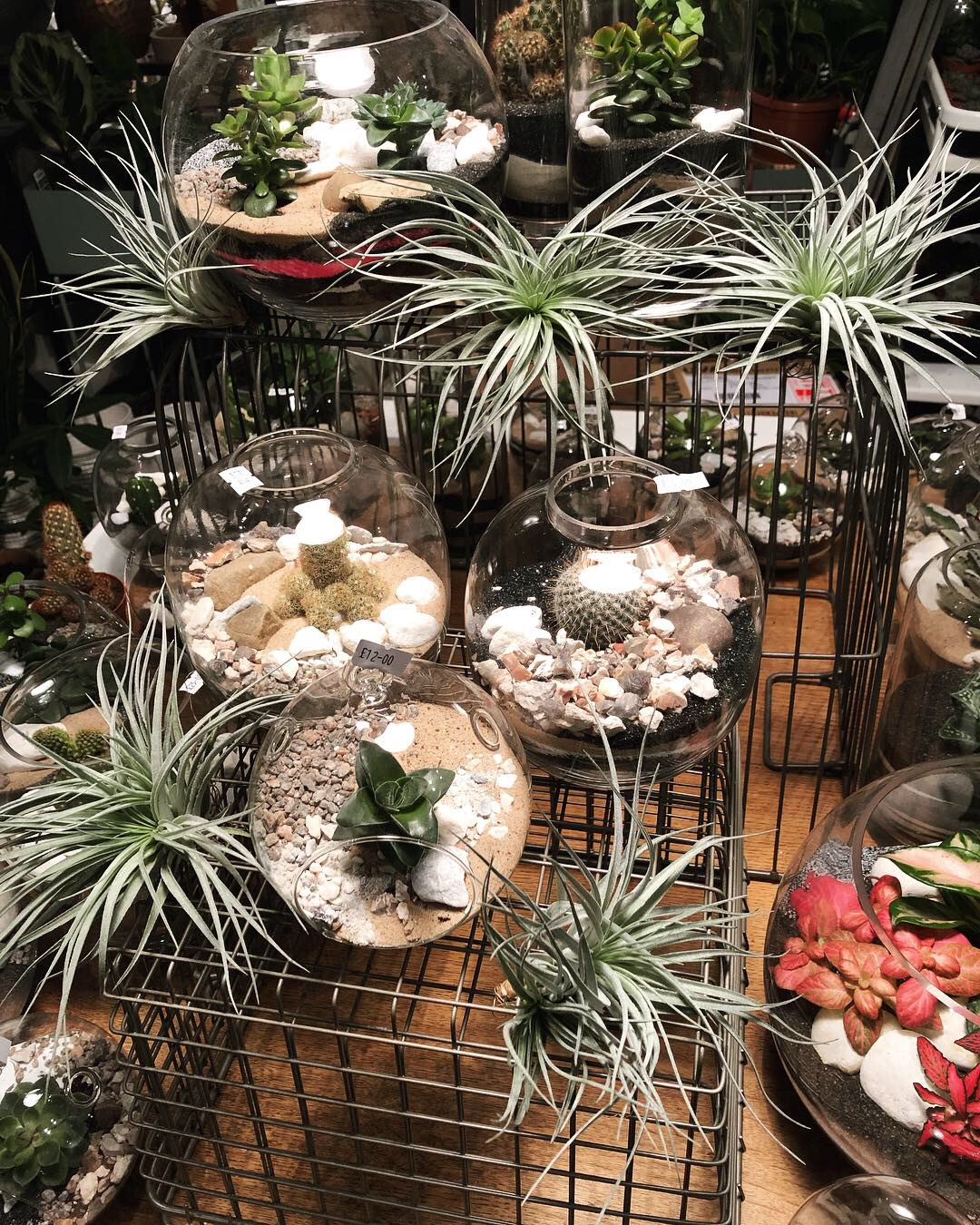 Tillandsia Air Plants in our shop for sale amongst our terrarium display in London