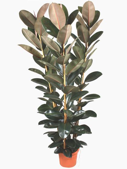 Ficus Elastica Abdijan
