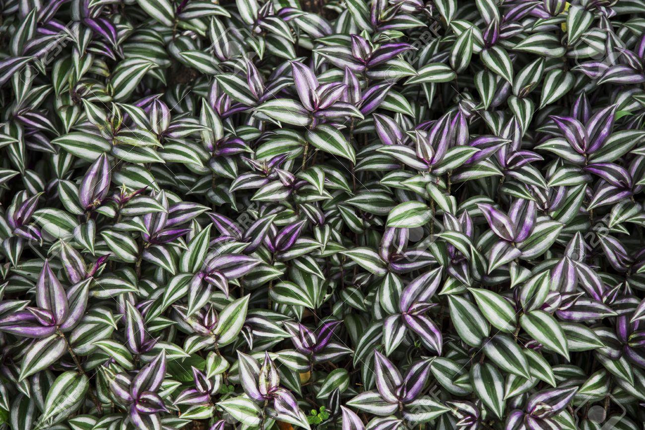 Tradescantia Zebrina Plant