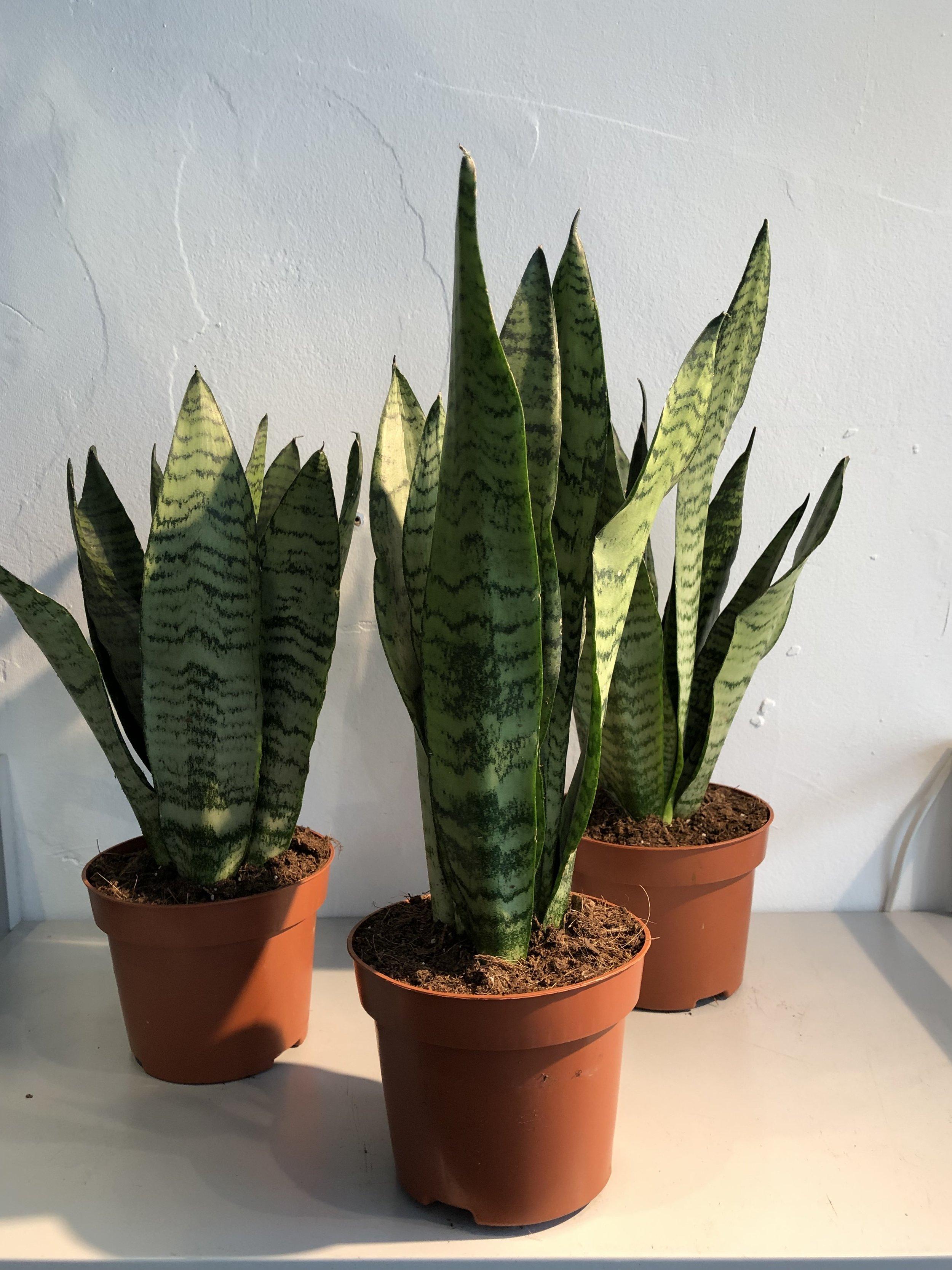 sansevieria, sansevieria trifasciata, sansevieria cylindrica, sansevieria laurentii, sansevieria zeylanica, sansevieria varieties, sansevieria care, sansevieria propagation, sansevieria benefits
