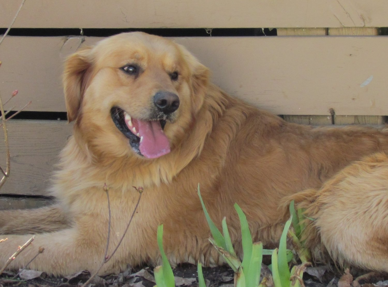 Our Goldens — Northland Goldens