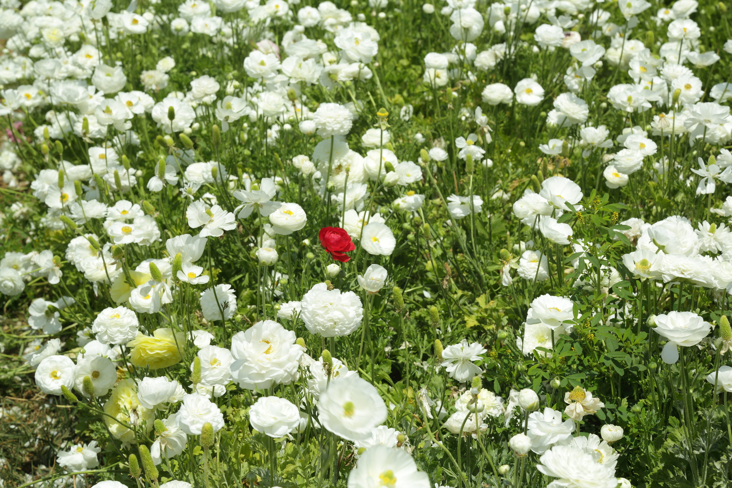 flower_fields5D0006.JPG