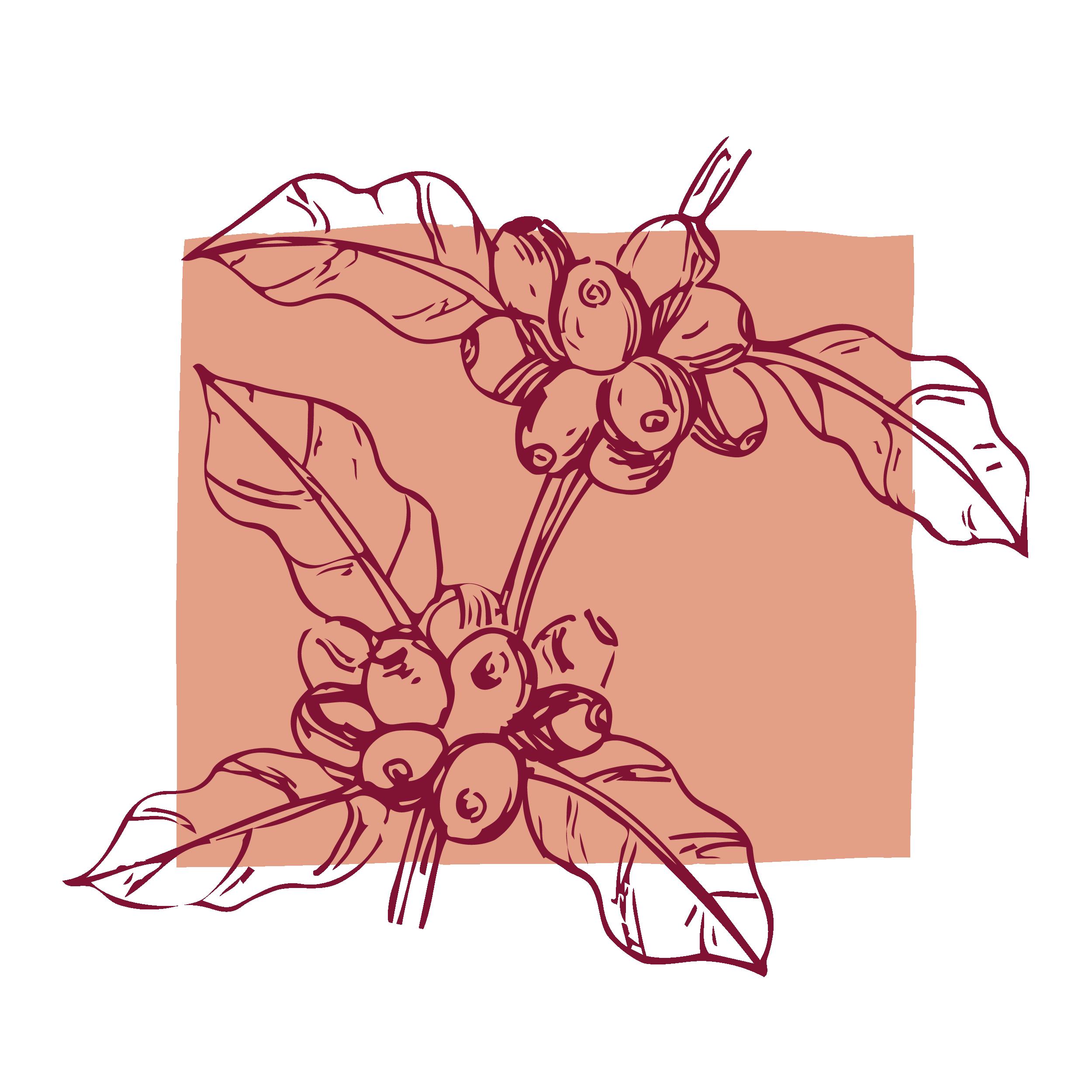 Las cerezas de café listas para cosechar