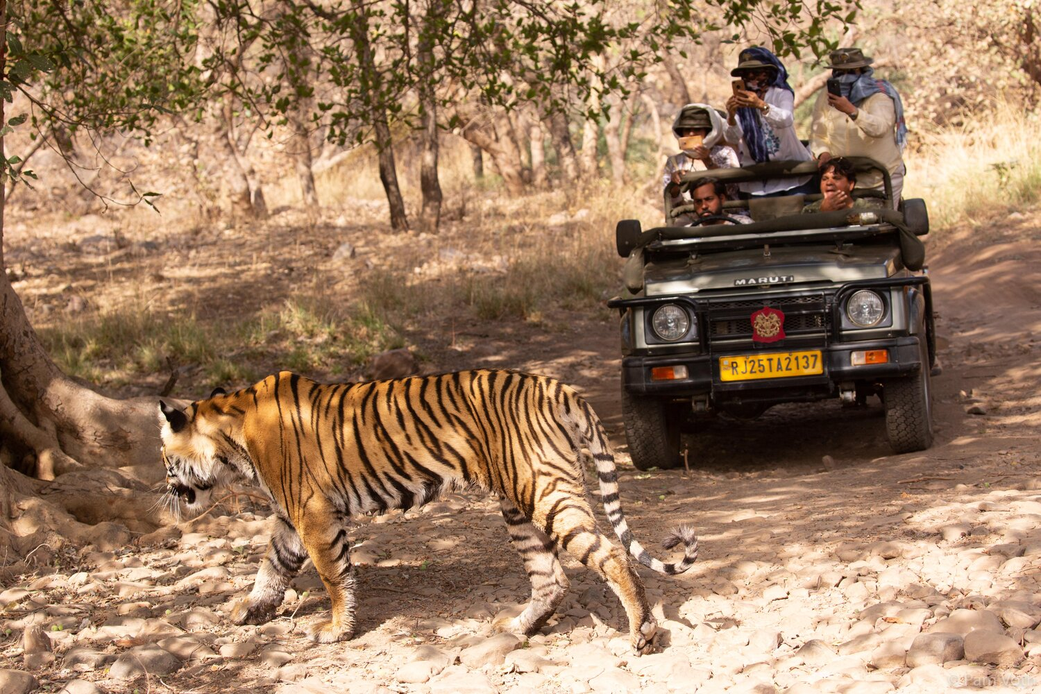 India Tiger Safari by Pam Voth