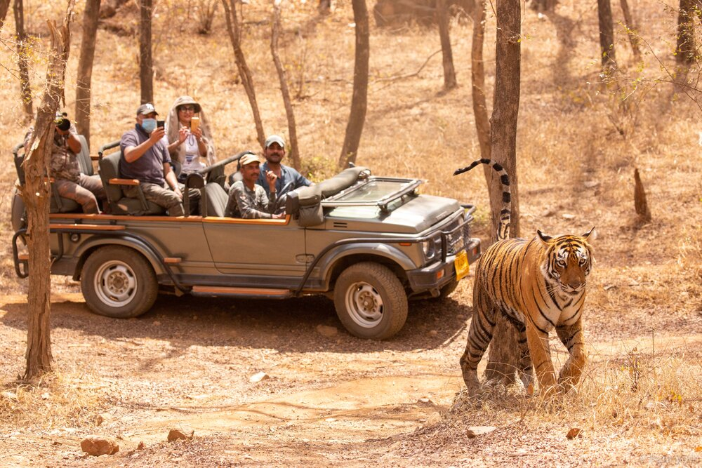 Tiger Safari 1.jpg