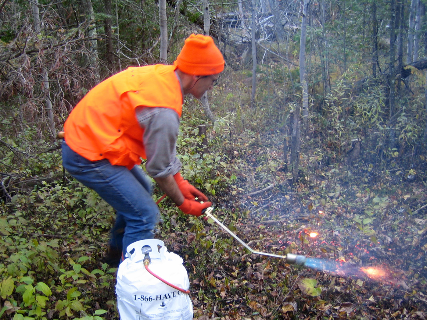 Torch treatment of buckthorn seedlings