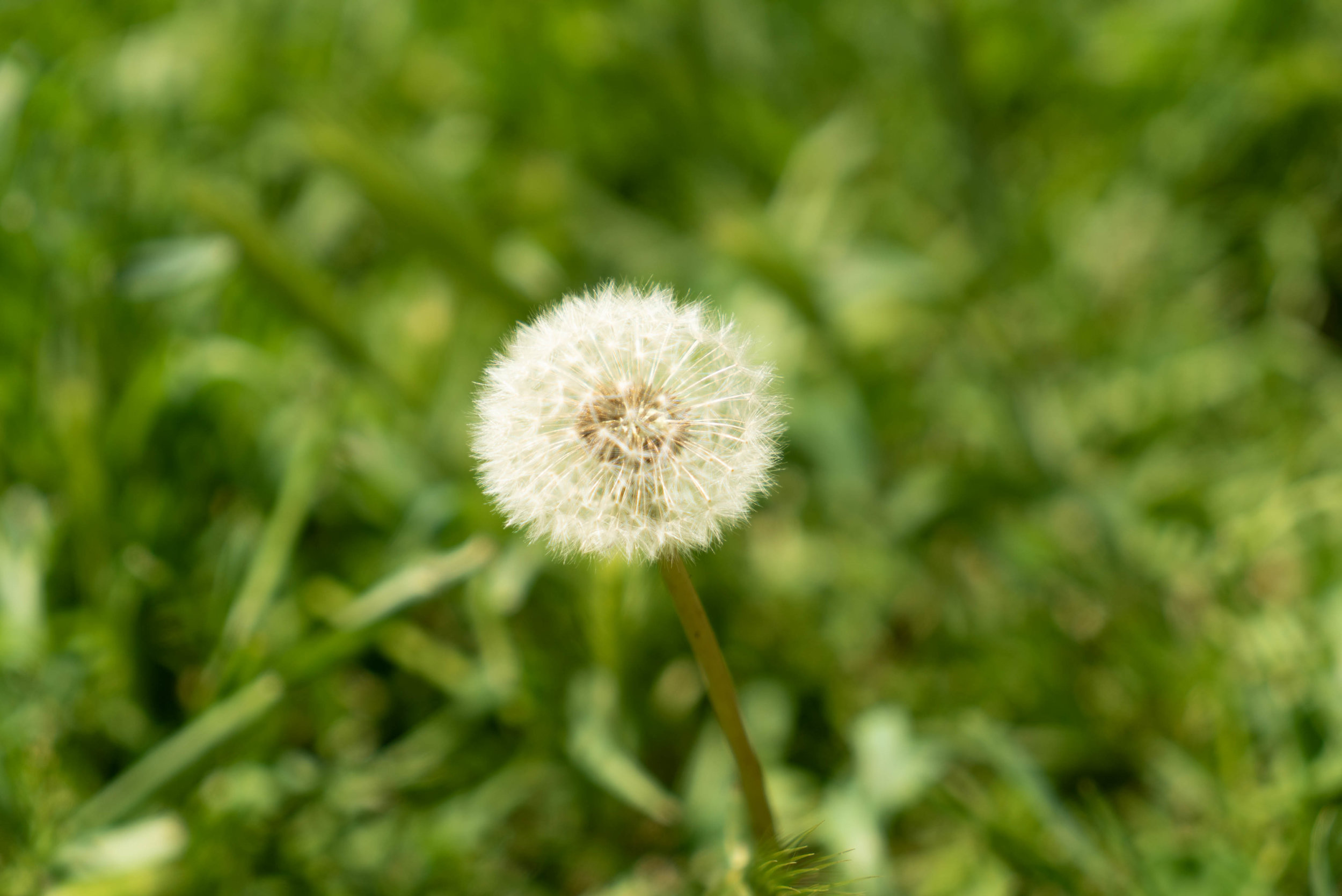 """Dandelions are thirsty…they require a lot of water…and will not hesitate to steal it from your lawn""."""