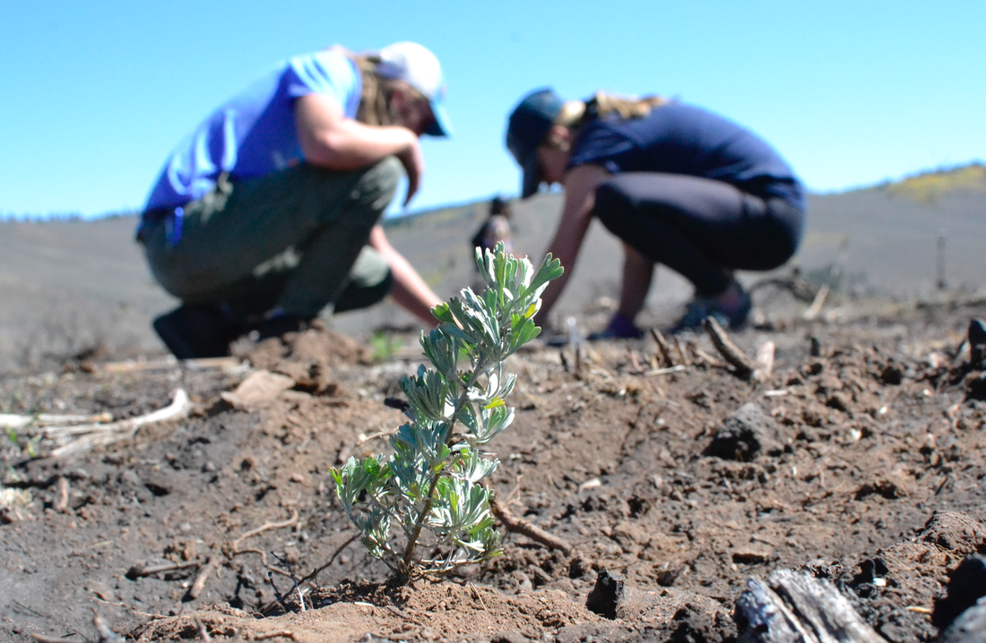 Western Colorado University students plant sagebrush seedlings as part of an effort to prevent cheatgrass from dominating the site of a recent wildfire. Photo by Sam Liebl.