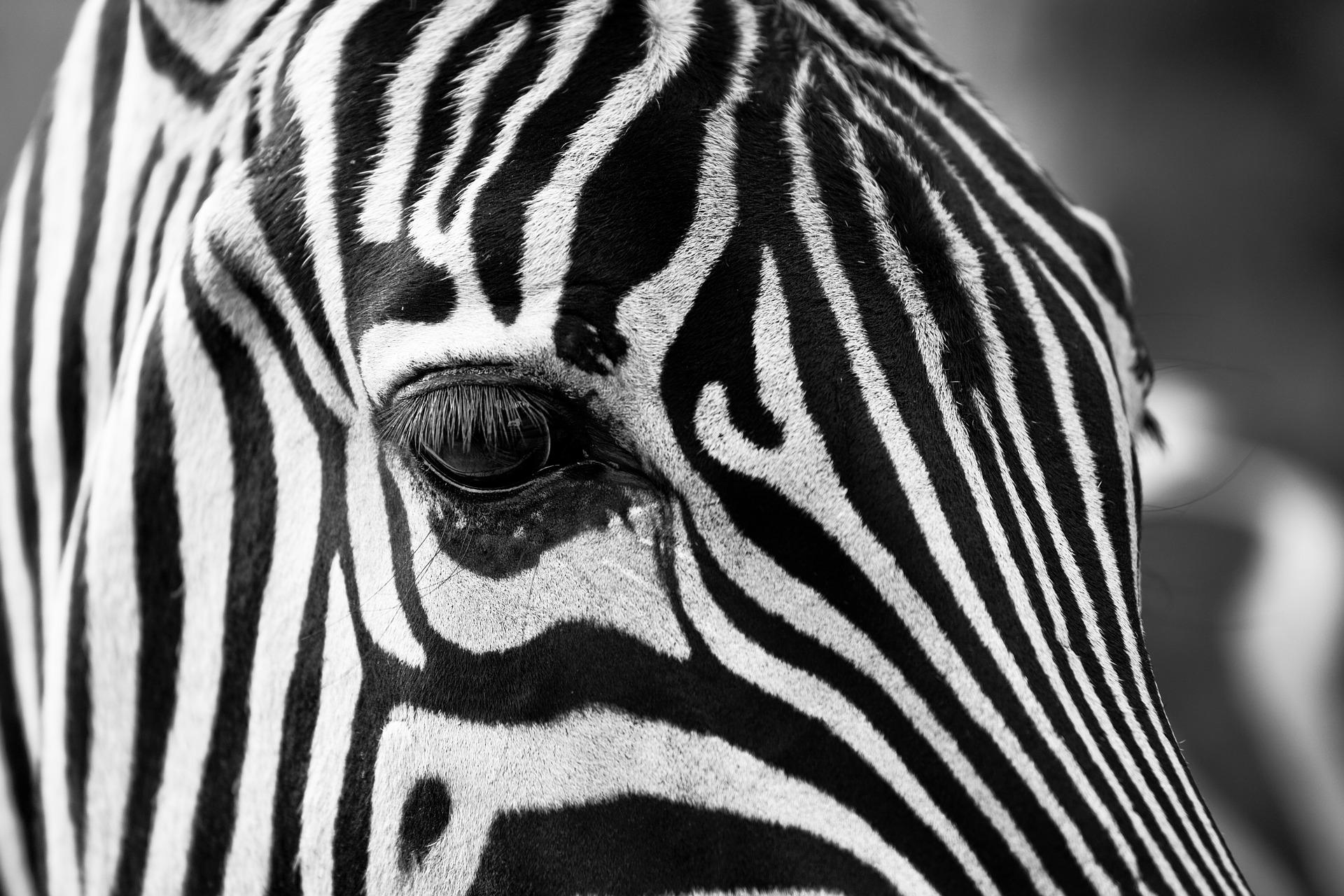 zebra-630149_1920.jpg
