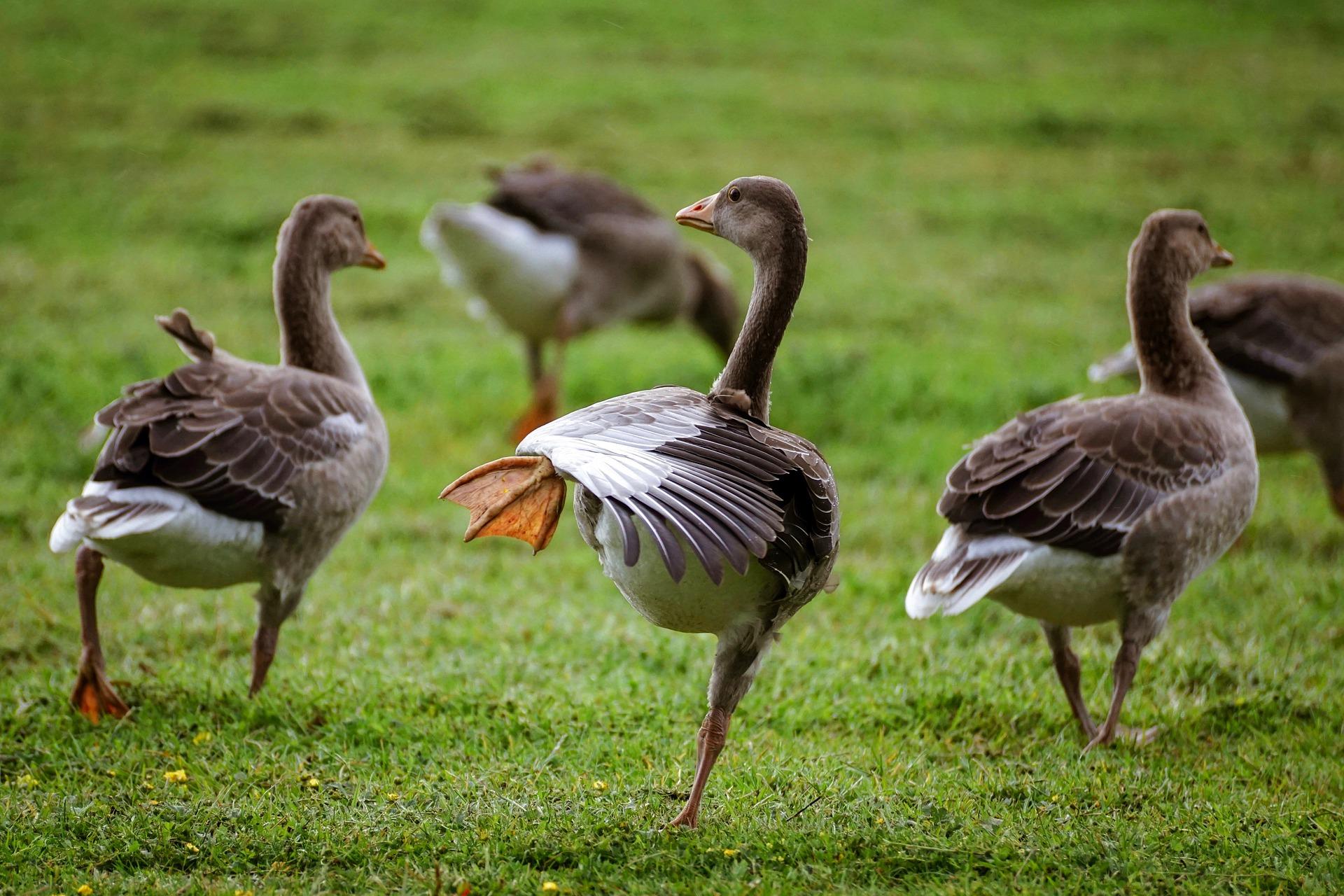 geese-4287963_1920.jpg