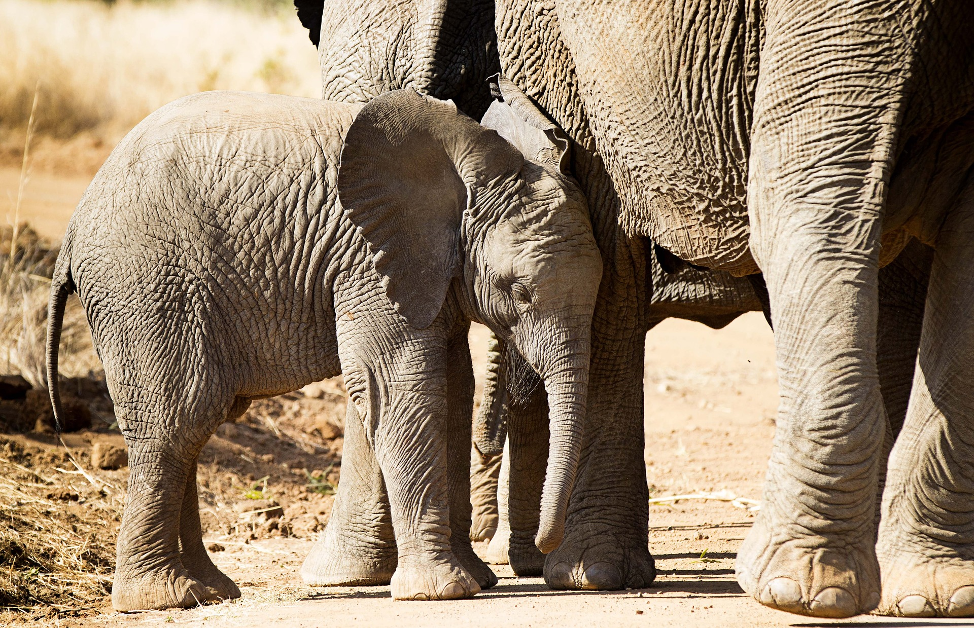 elephant-1169258_1920.jpg