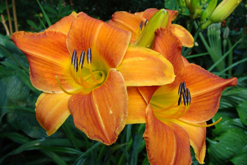 orange-daylily_web.jpg