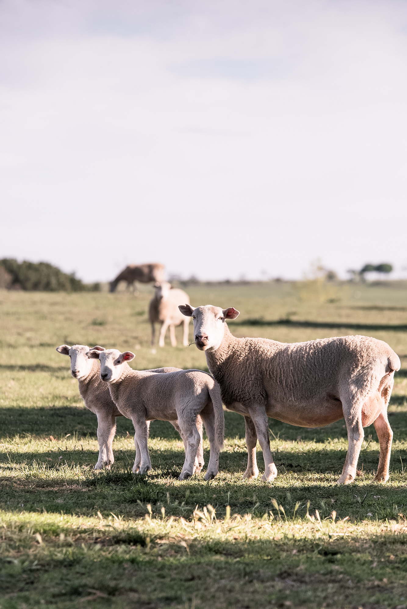 Mona Farm Braidwood Sheep Regional NSW
