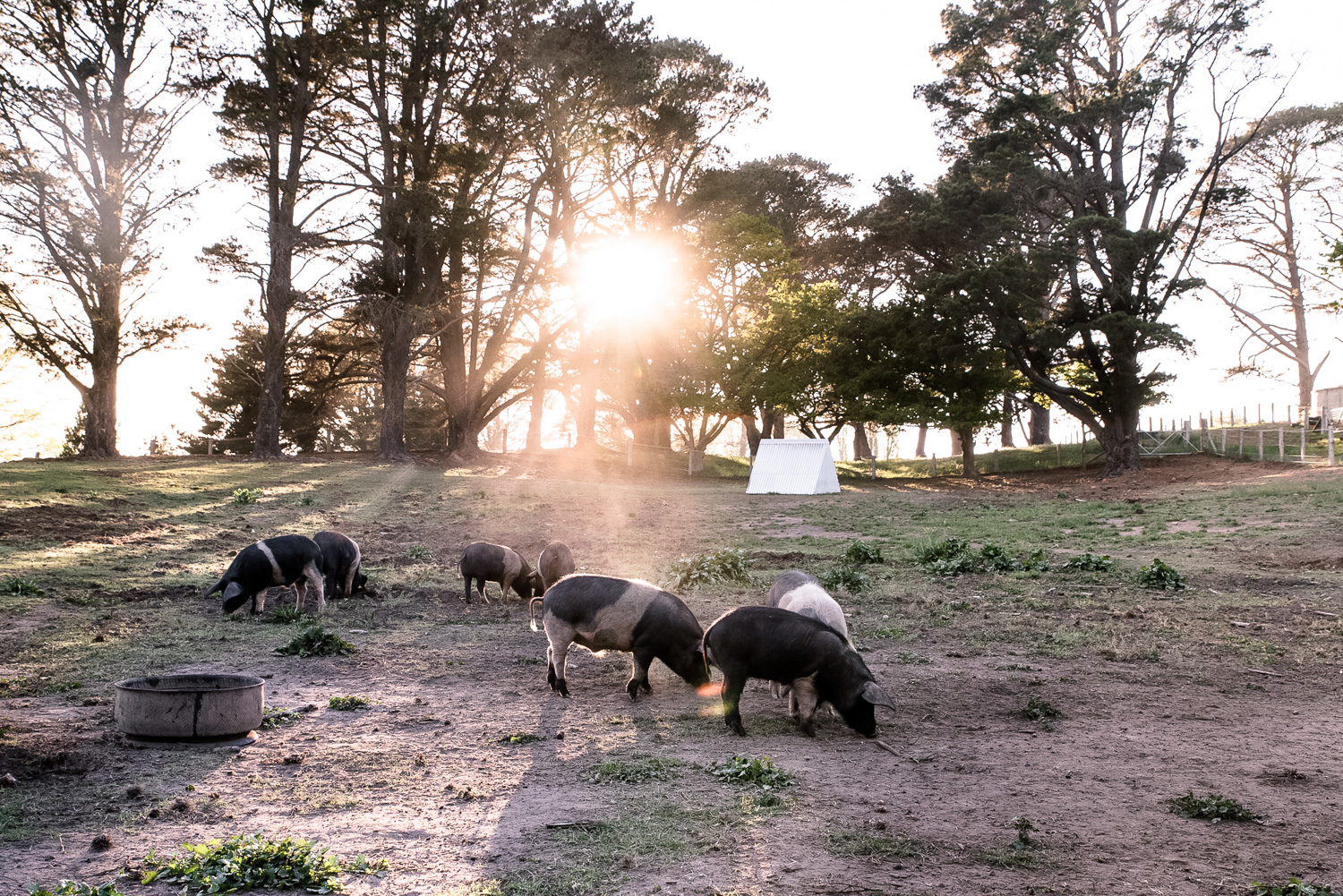 Mona Farm Braidwood Pigs Rural NSW