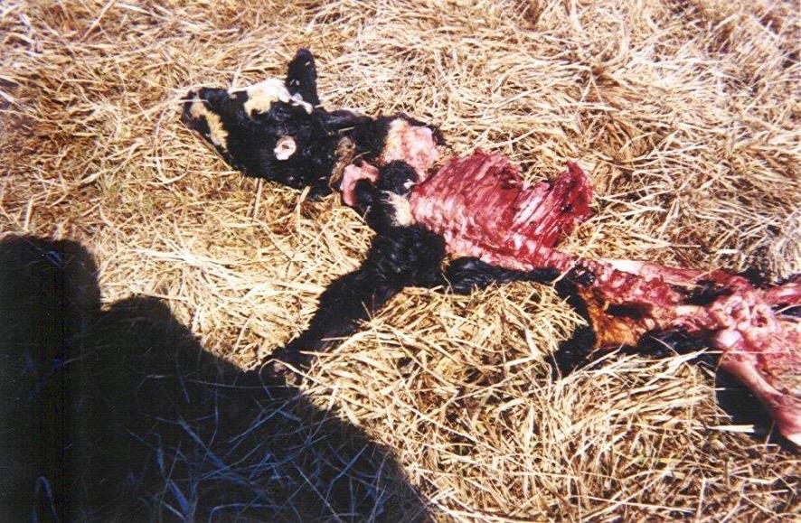 Mutilación del ganado