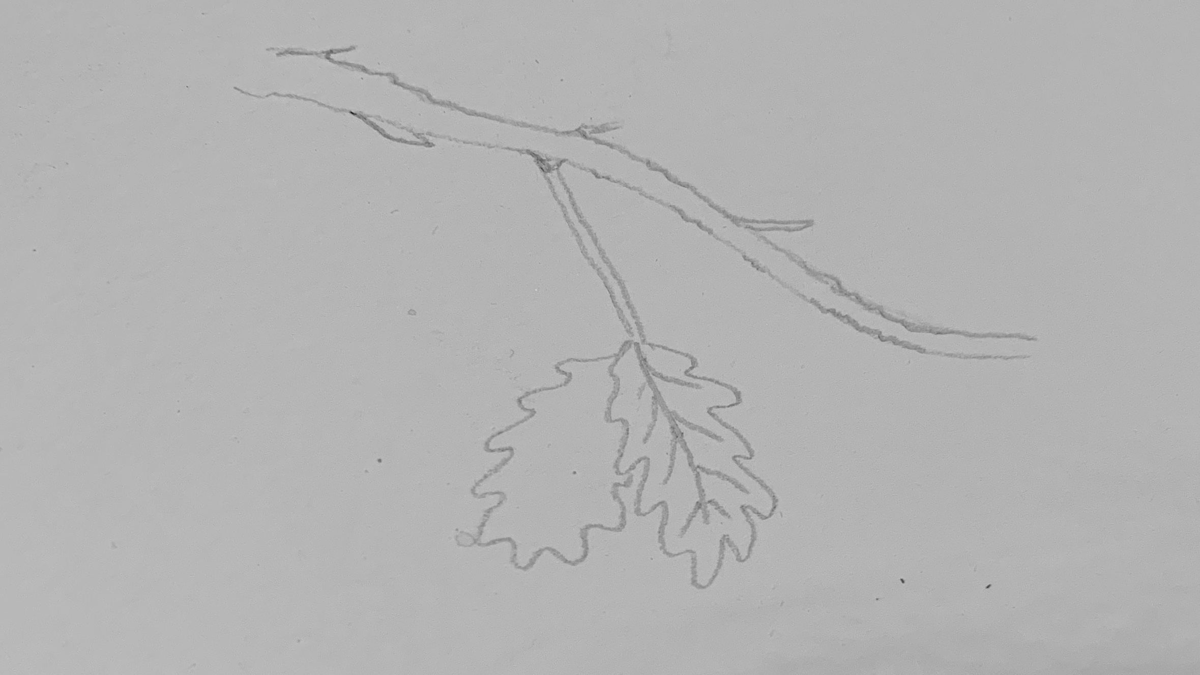 3. Add off shoots and leaves. An oak leaf is long and jagged so a few wobbly lines in an overall rectangle shape should look something like this.