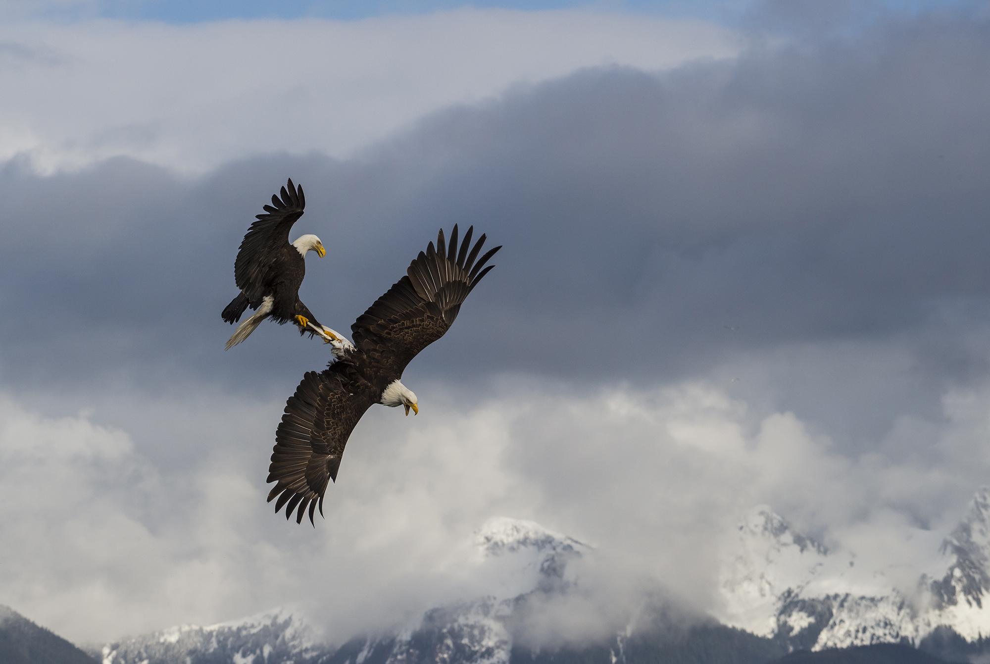 eagle fight 1.JPG