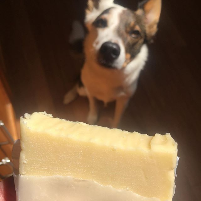 Boo Boo loves cheese!  Did you know cheese can be a great snack for dogs and, when cut into little pieces, can make a great high-value Training treat?  Does your dog like cheese?! #cheese #cheesefordogs #dogslovecheese #booboosbest #trainingtreats #dogtrainer #dogtraining #dogtrainingtips #dogtrainers #dog #dogs #dogsofig #dogsofinstagram #dogstagram #dogsofinsta #dogs_of_world #dogs_of_instagram #bordercolliemix #dogmom #bordercollie