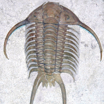 Paraceraurus_exsul_fossil_trilobite_(Asery_Formation,_Middle_Ordovician;_St._Petersburg_area,_Russia)_1_(15161039897).jpg
