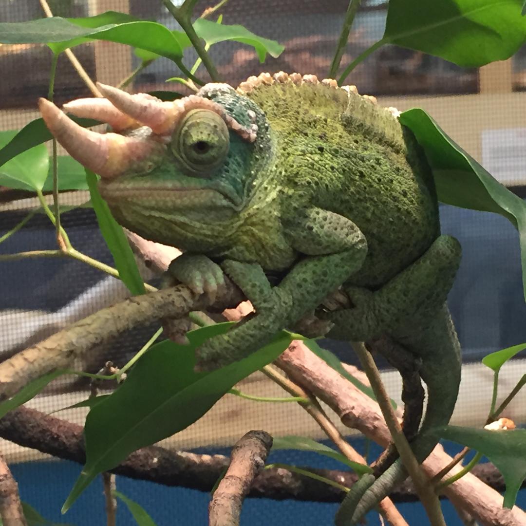 chameleon 1080.jpg