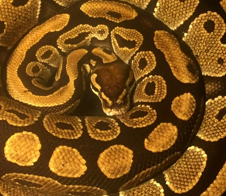 Saturdays - Snakes, lizards and lungfish at 4:00 PM