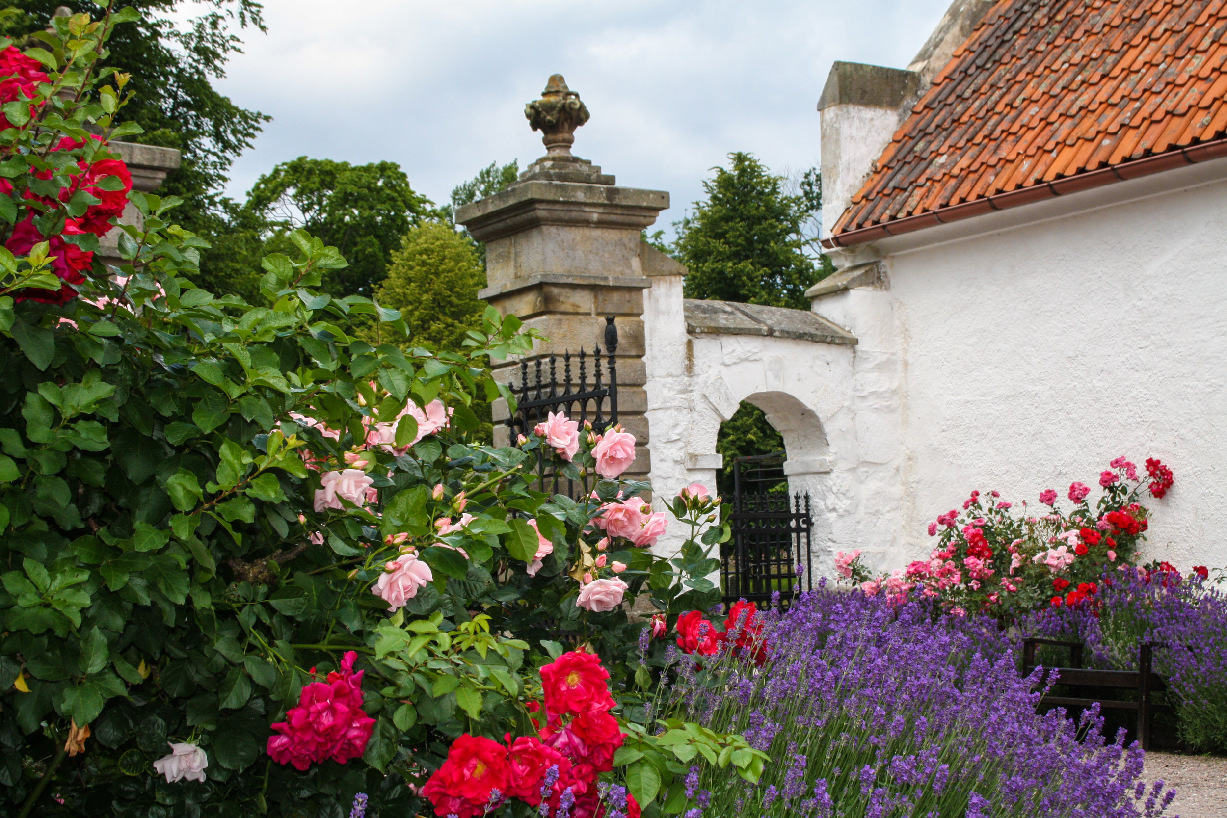 In the Court Yard, roses bloom among lavender, framed in by box hedges.