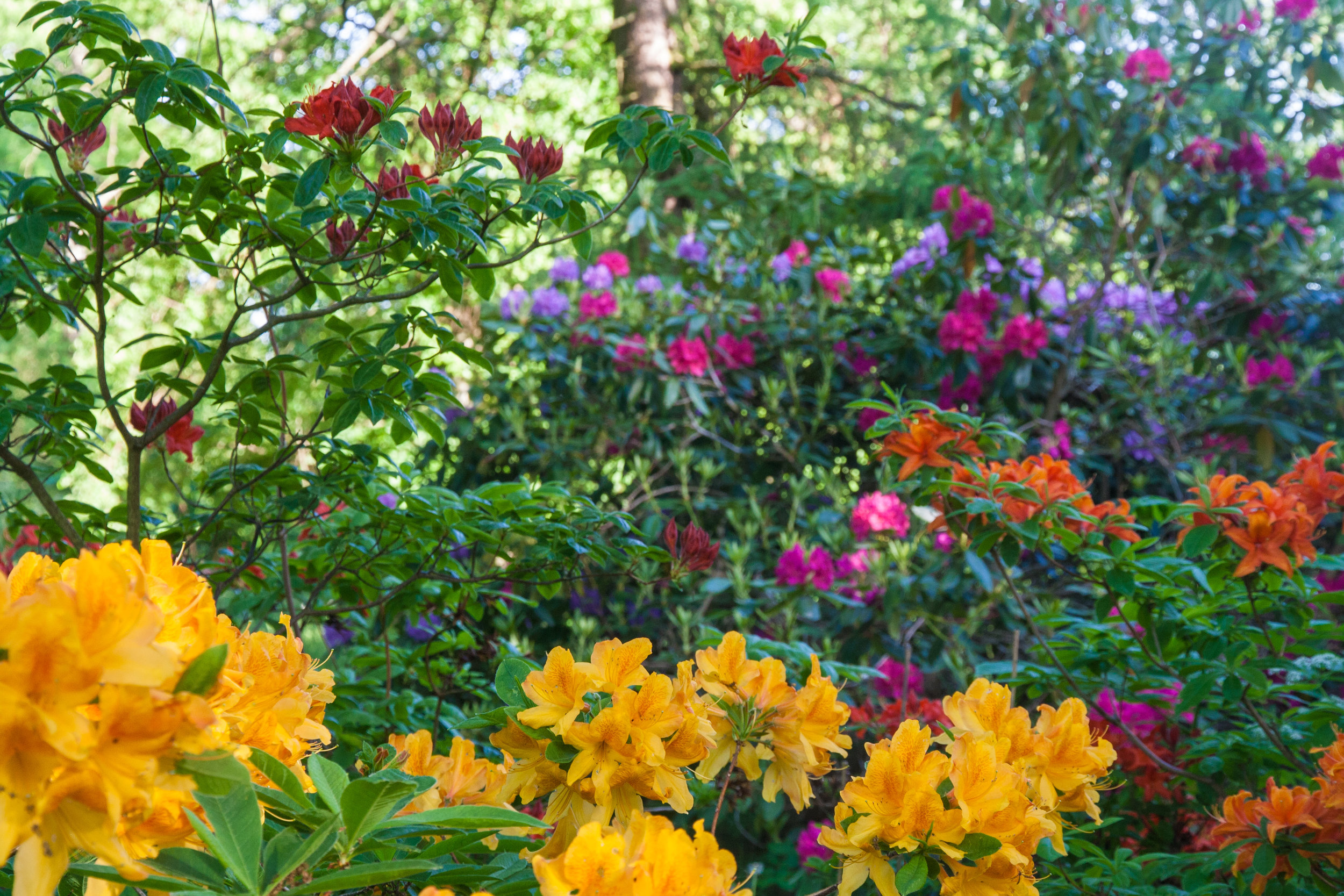 Azalea-rhododendron-Bosjokloster.jpg