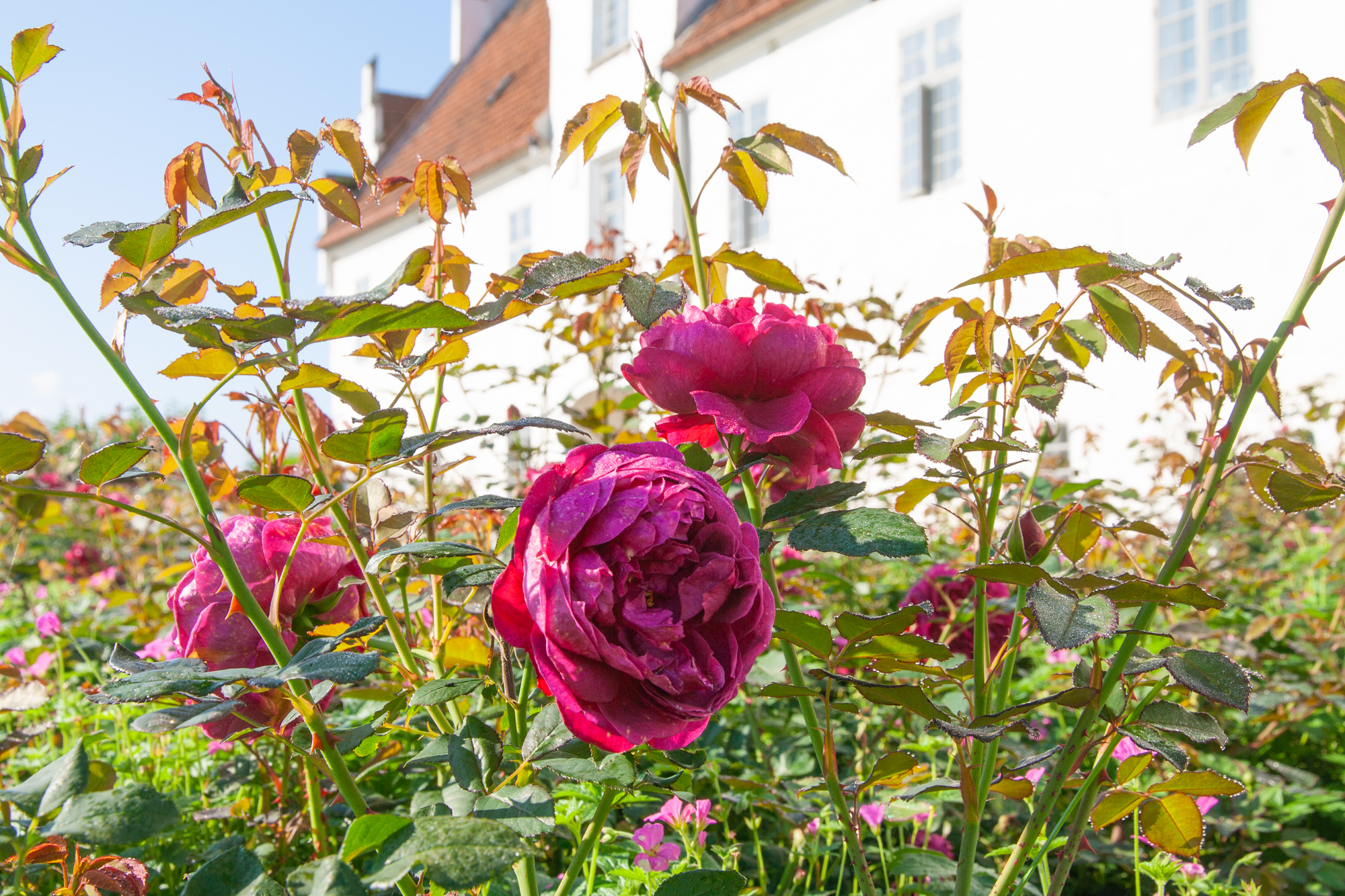 The Rose Garden boasts selections of English Austen Roses and Danish Old Roses.
