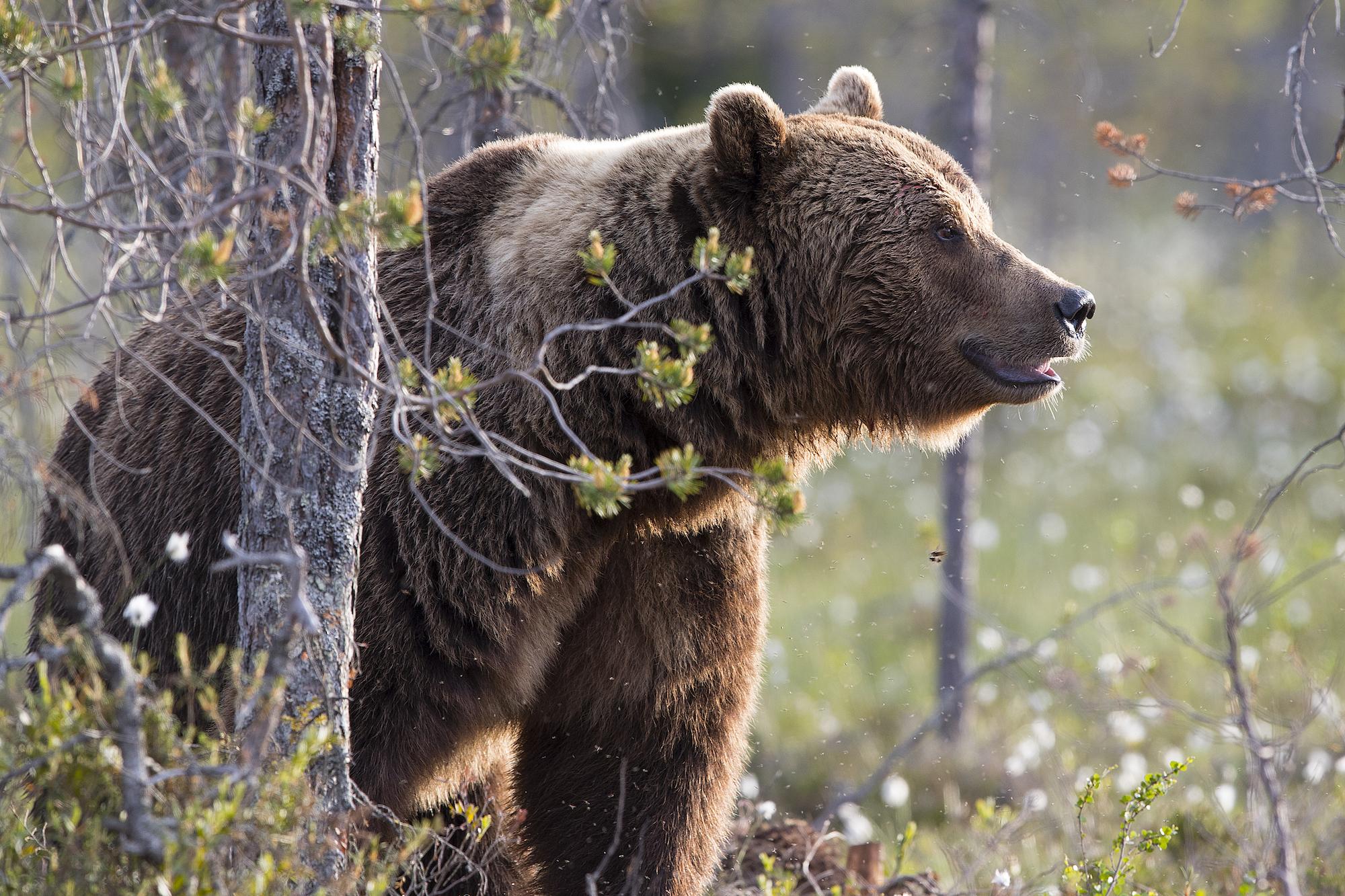 Mats Bentmar-björn.jpg