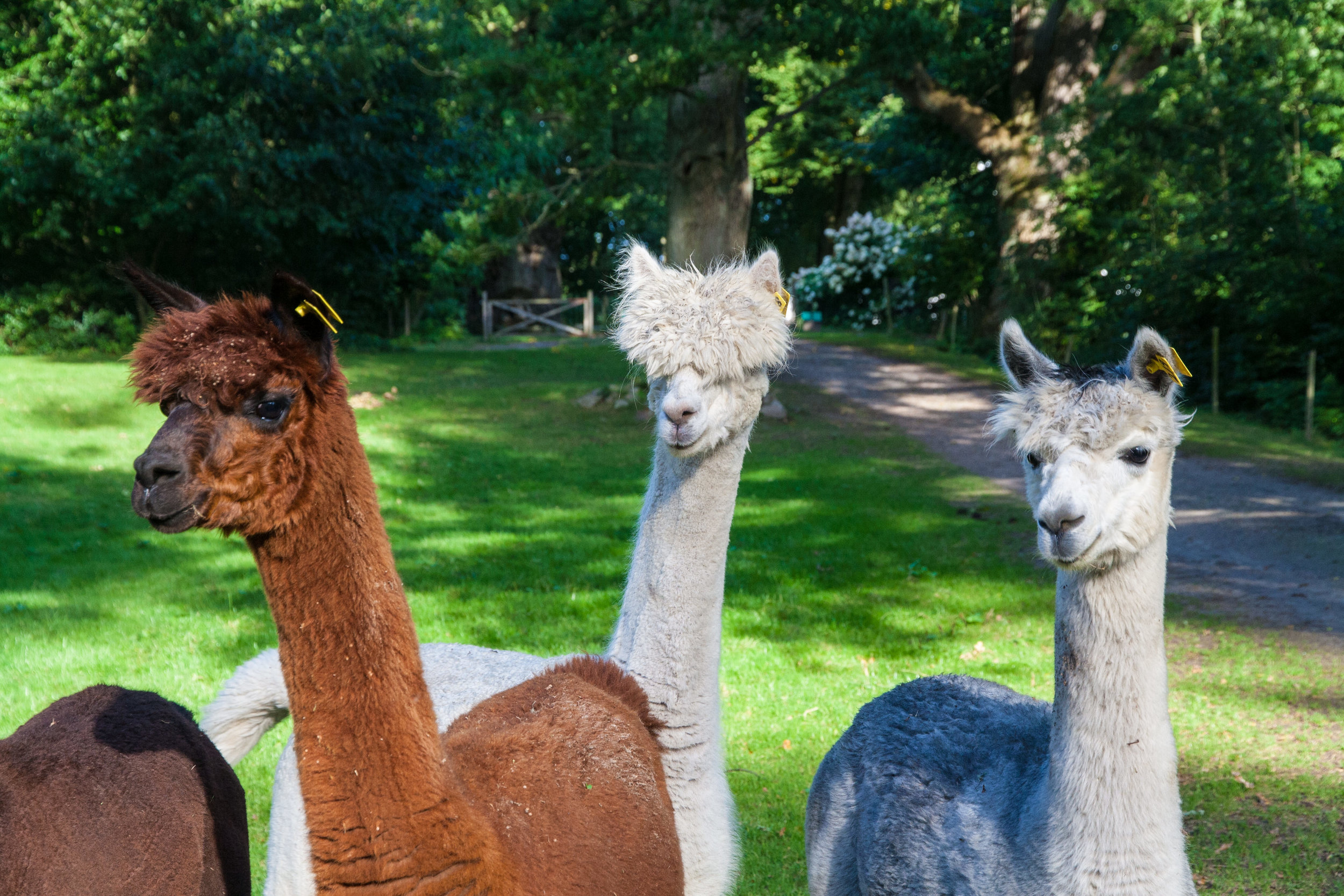 Nyfikna alpackor i parken.