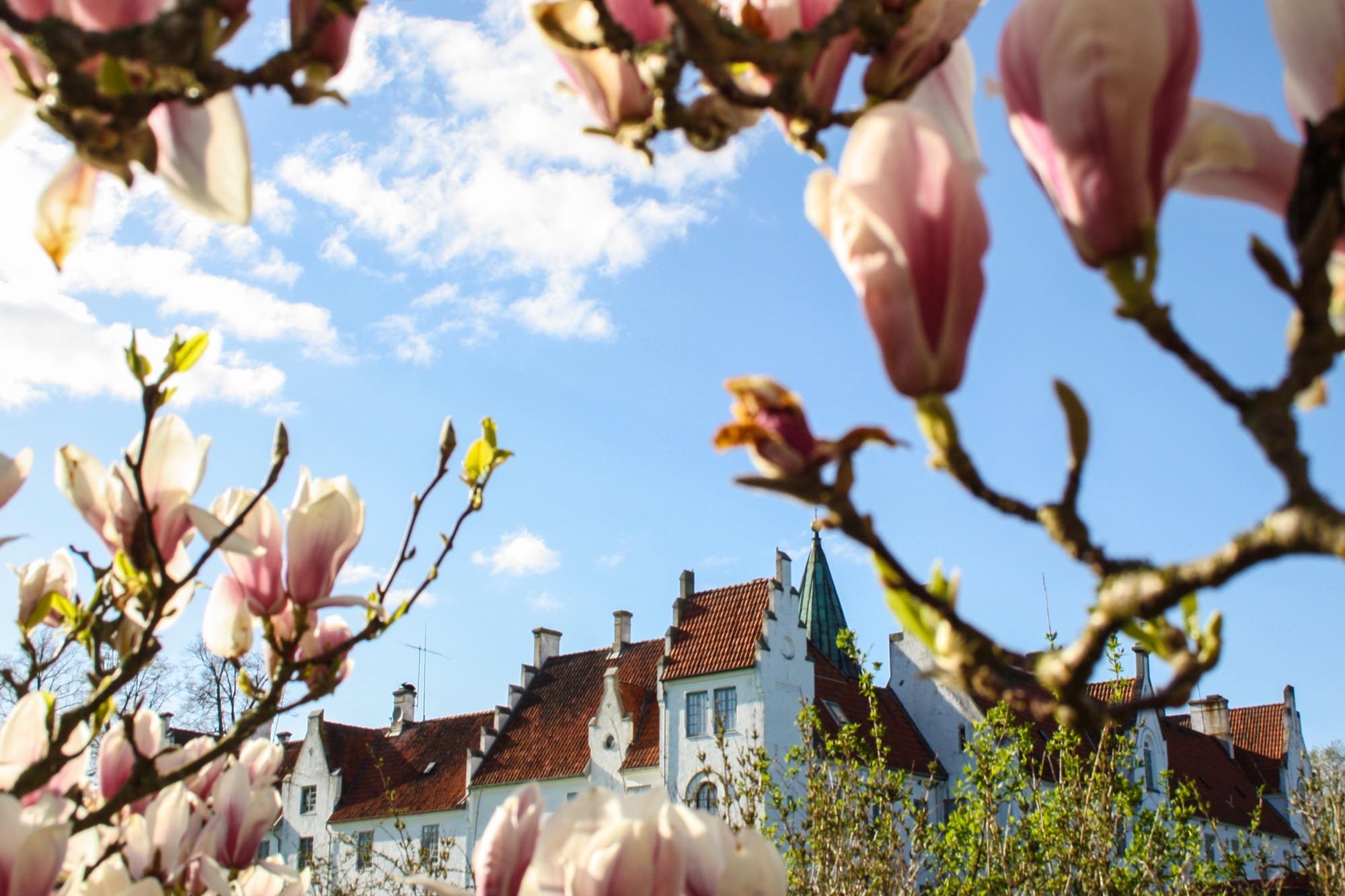 Magnolior av olika slag blommar från april till början av juni