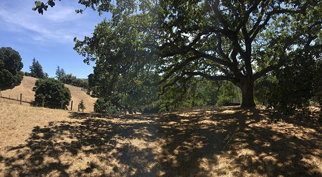 We're excited to start a new home project on a site in a Portola Valley that features this magnificent oak tree and views to Windy Hill. Stay tuned...
