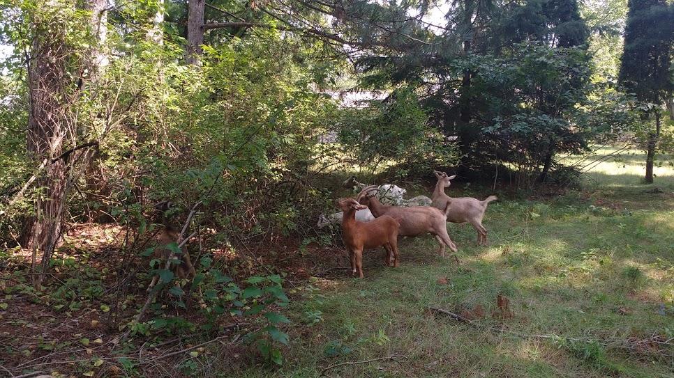goat grazing.jpg
