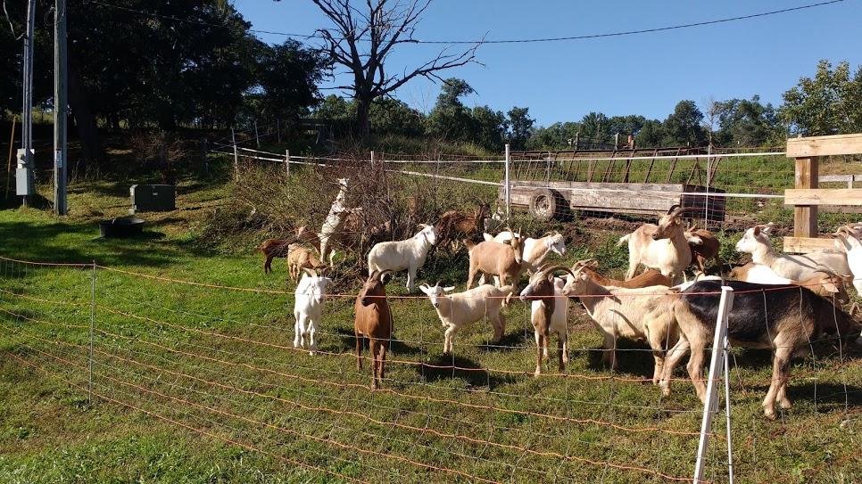 goat grazing 5.jpg