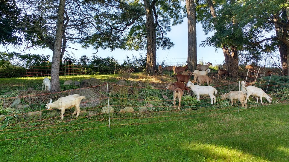 goat grazing 4.jpg