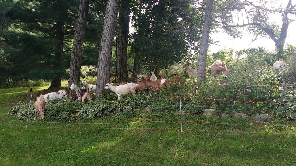 goat grazing 3.jpg