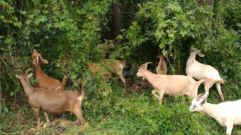 goat grazing 2.jpg