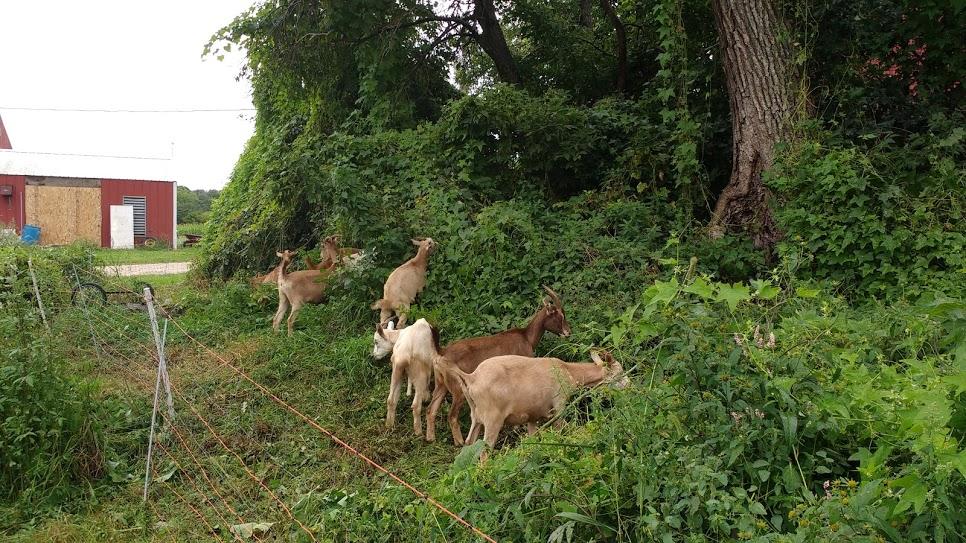 goat grazing1 .jpg