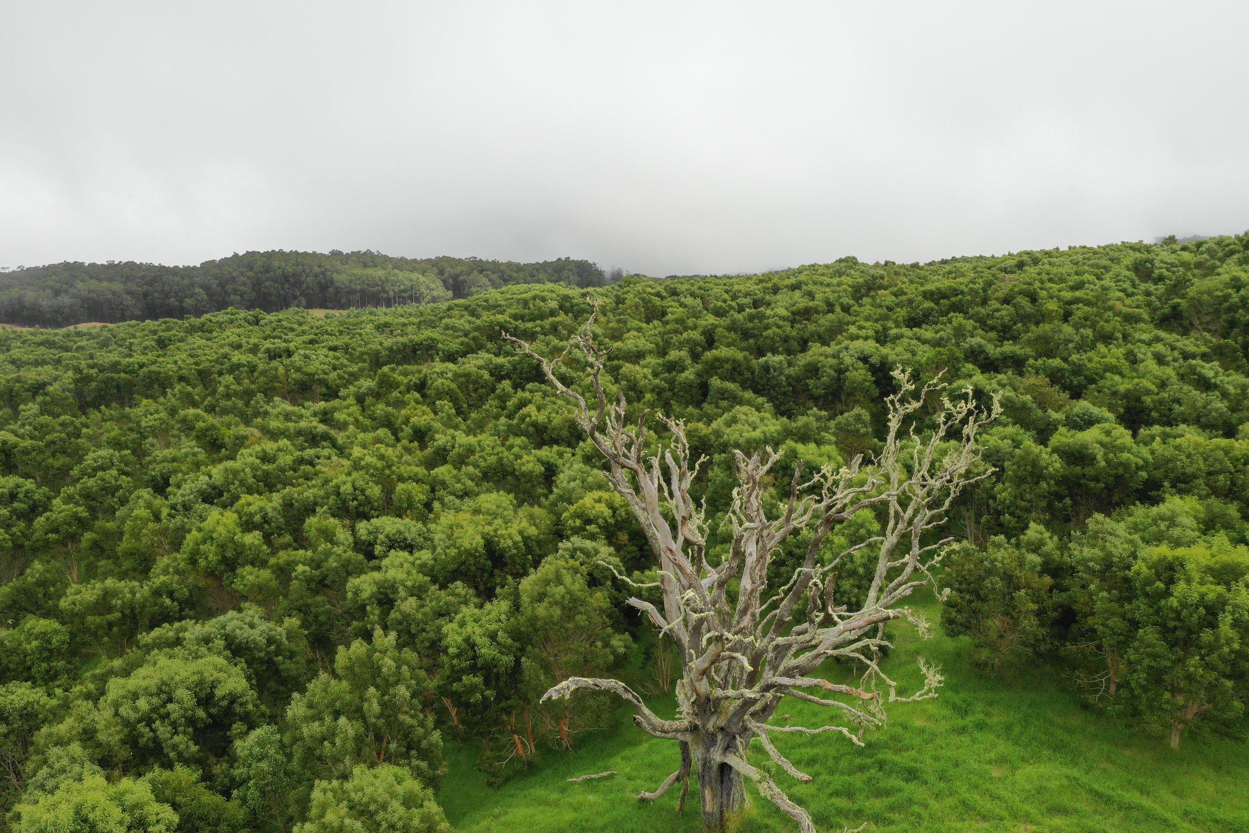 Aloha e' kipa mai' i ka nahele - Aloha we welcome you to the forest..