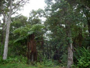 The 1,000-acre Ka`awaloa Hawaiian Forest Conservation Easement on the western slope of Mauna Loa is one of the latest projects proposed for inclusion in the Forest Legacy Program. DLNR photo.