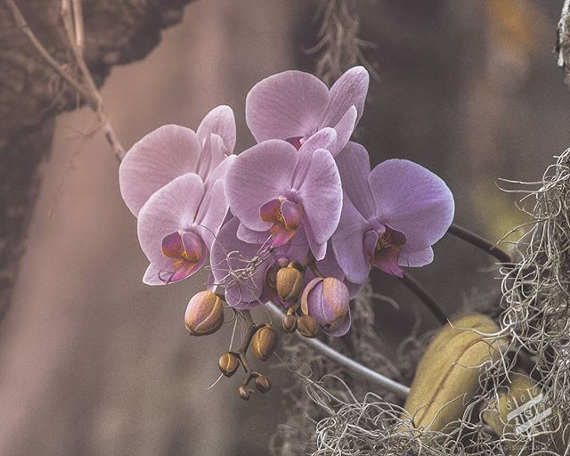 Waiting for the Sun - A cluster of orchids in the early morning. Such an alien looking flower all the way from the blossom to the roots. . *Thank you to everyone that bought a ring yesterday. I wasn't expecting that at all.  Still kind of in shock. . Check out soupcan13.com for prints . 📷Nikon D850-Tokina 100mm f2.8 . 💻post edit Lightroom . 🎧Rita Ora . . . . . . . . . . . . . . #MoodyGrams #visualambassadors #igtones #eclectic_shotz #ShotzDelight #CreativeOptic #milliondollarvisuals #trappingtones #reflectiongram #cc5k #yourshotphotographer #naturephotography #hawaiistagram #travelphotography #gohawaii #orchids #hawaii #orchidstagram #kauaiphotographer #kauaihawaii #kauaiaswhy #kauai #photography #macrophotography #kauailife #orchidsofinstagram #macro #flowers #flowerstagram