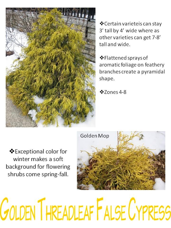 Winter- Golden Threadleaf False Cypress.jpg